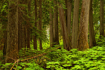 Forest background in Mt Revelstoke National Park, British Columbia, Canada