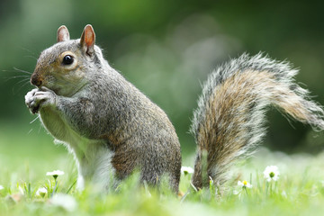 Papiers peints Squirrel grey squirrel eating nut in the park
