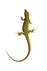 isolated common green lizard