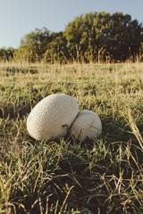 Wolf's fart, wolf's beak or pearly puffball (Lycoperdon perlatum)
