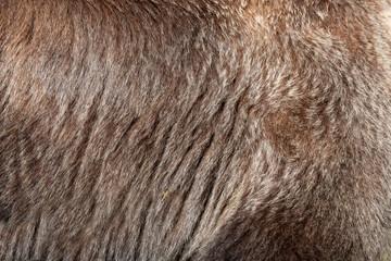 Wall Mural - Real brown bear fur texture