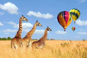 Wall Mural - Group giraffe in National park of Kenya with air balloon