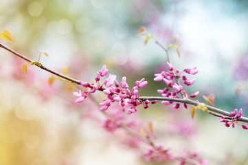 Pink tree blossom in the garden. Beautiful spring