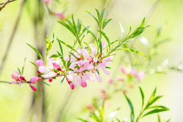 Spring background art with pink almond (prunus tenella)
