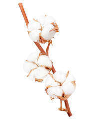Cotton plant flower branch isolated on white background
