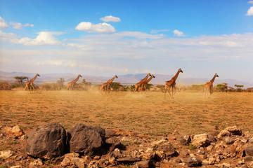 Group of giraffes running on savanna. Wall mural