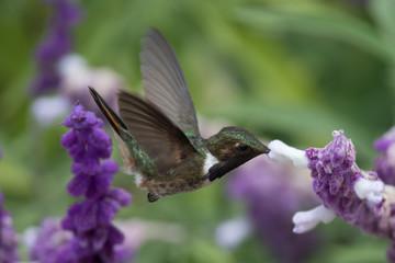 Hummingbird(Trochilidae)Flying gems