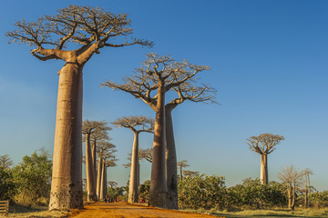 The famous Avenue of the Baobabs in Madagascar
