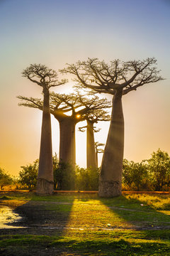 Avenue of the baobabs with an amazing sunset