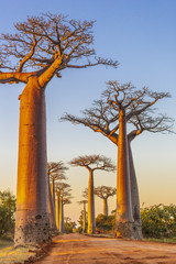 Avenue of the baobabs during sunset