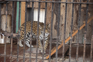 Jaguar in a cage in the zoo.
