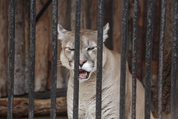 Puma in a cage in the zoo.