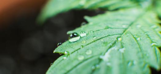marijuana plant care process before harvest.