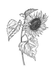 Sketch pen and ink vintage sunflower with leaves illustration, draft silhouette drawing, black sketch isolated on white background. Botanical graphic etching design.