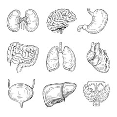 Human inner organs. Hand drawn brain, heart and kidneys, stomach and bladder. Sketch medical isolated vector illustration. Intestine organ of collection, internal digestive