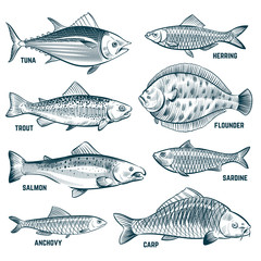 Sketch fishes. Trout and carp, tuna and herring, flounder and anchovy. Hand drawn commercial fish vector set. Seafood fish, sea food, ocean sketch animal illustration
