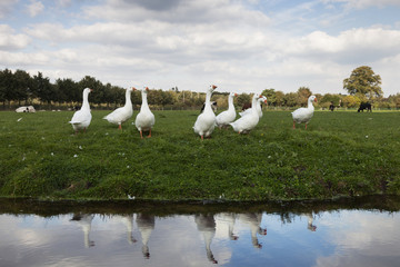 row of white geese in green grassy meadow reflected in water of canal in holland