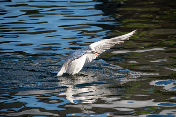 Black headed gull on the water