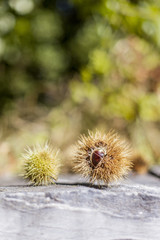 Sweet chestnut with prickly outer shell. Esskastanie mit stacheliger Schale.