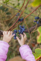 Kinderhand erntet Weintrauben. Child picking some grapes from grapevine.