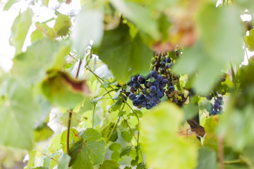 Blaue Weintrauben auf Weinstock. Blue grapes on vineyard.