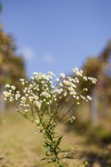 Common fleabane with white flowers. Feinstrahl Blume Kraut mit weißem Blüten.