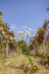 Feinstrahl Blume Kraut mit weißem Blüten. Common fleabane with white flowers.