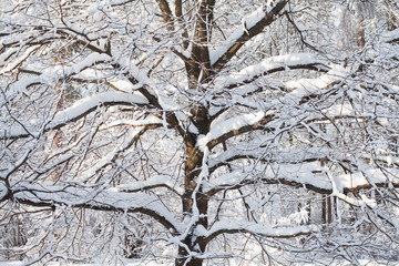 Snow covered giant forest tree, cold winter weather landscape