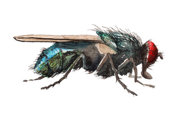 Watercolor blow fly