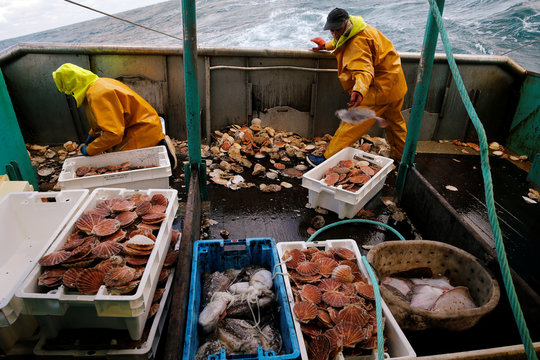Fishermen sort scallops in boxes on the deck of Thierisa trawler during the start of the scallop fishing season, off Port-en-Bessin