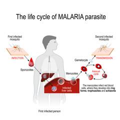 life cycle of a malaria parasite