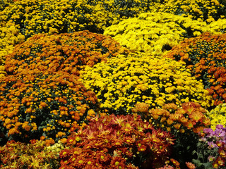 PUTRAJAYA, MALAYSIA -MAY 30, 2016: Various species and colorful of chrysanthemum flowers planted and grows in the Royal Floria Garden in Putrajaya, Malaysia.