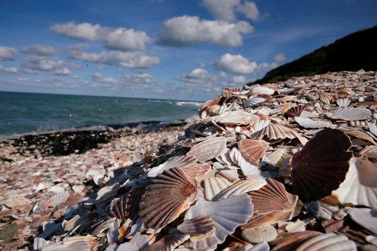 Empty scallop shells are seen on beach in Port-en-Bessin