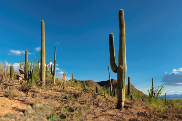 Beautiful landscape of saguaros in Saguaro National Park, Arizona
