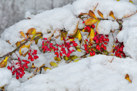 Branch of  Barberry with red berries and colorful fall leaves first fluffy snow covered - bright decoration of the winter park close-up