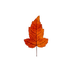 Autumn yellow red maple leaf isolated on the white background. Fall leaves.