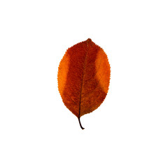 Autumn colourful leaf isolated on the white background. Fall leaves.