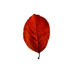 Autumn red  leaf isolated on the white background. Fall leaves.