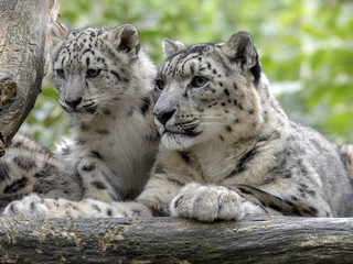 Snow leopard, Uncia ounce, female with chicks