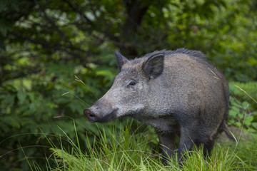 horizontal image of an adult wild boar looking towards the photographer