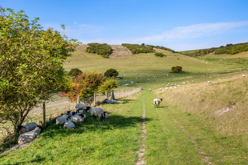 A pathway in the South Downs in Sussex with sheep grazing in the surrounding countryside
