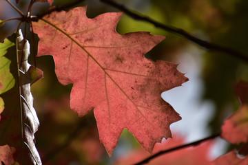 Obraz piękny jesienny czerwony liść - fototapety do salonu