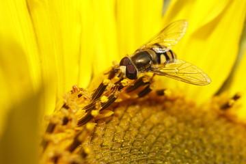 wespenbiene - bienenwespe