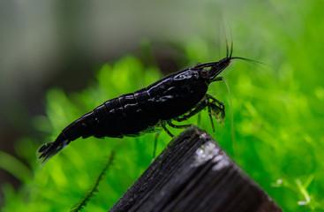 Black Neocaridina shrimp