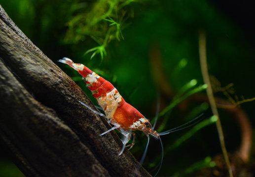 Red crystal bee shrimp, caridina