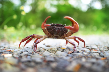 A single red crab on Phuket Island.