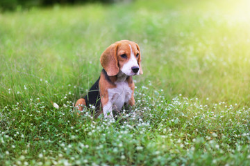 Beagle dog sitting on the wild flower field.