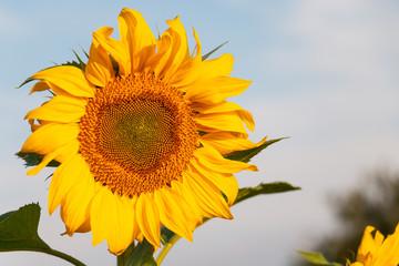 Einzelne Sonnenblume vor blauem Hintergrund (Himmel)