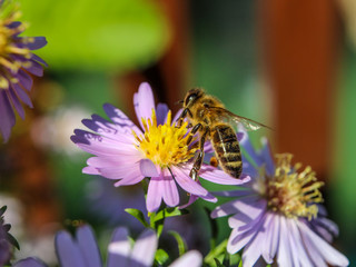 Bee collects nectar from flower