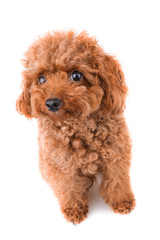 Mini Toy Poodle